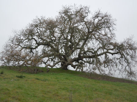 large oak on approach 02