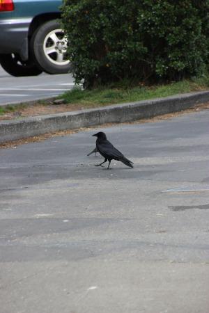 pt reyes crow