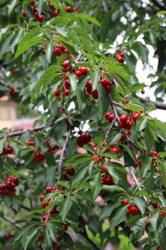 cherries 001