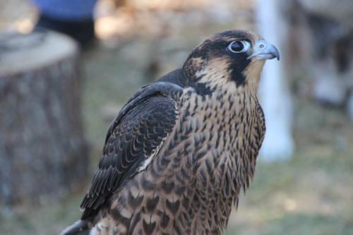 small hawk 001