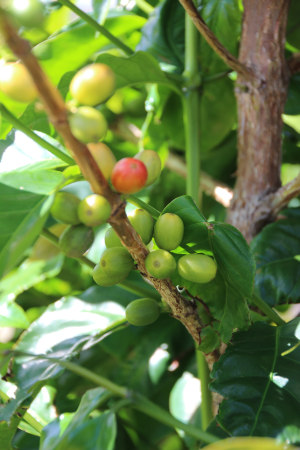 coffee cherry 001
