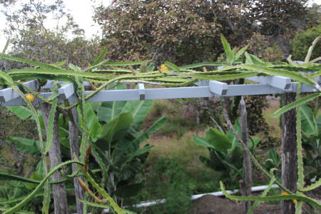 dragon fruit trellis