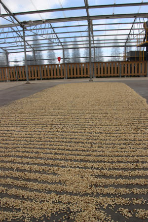 parchment beans drying