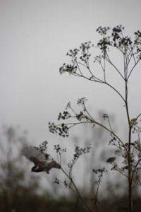Chickadee flies from milkweed