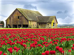 The name is Barnes. James Barnes. Red tulips in foreground, large barn in background