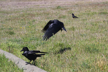 """Leapin' Ravens!"" One of ground, one in flight"