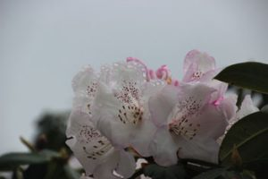 Pink Rhododendrons with Raindrops