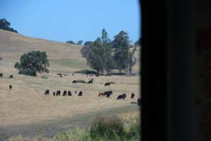 Cows and pastureland on the way to Cotati.