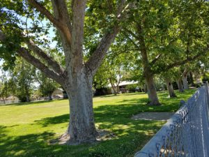 Trees in yard of Manteca Day School