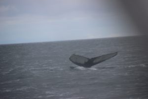 Tail flukes of a humpbacked whale, off Icelandic coast.