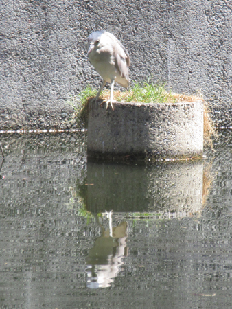 Adult night heron
