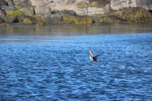 Puffin in the air.