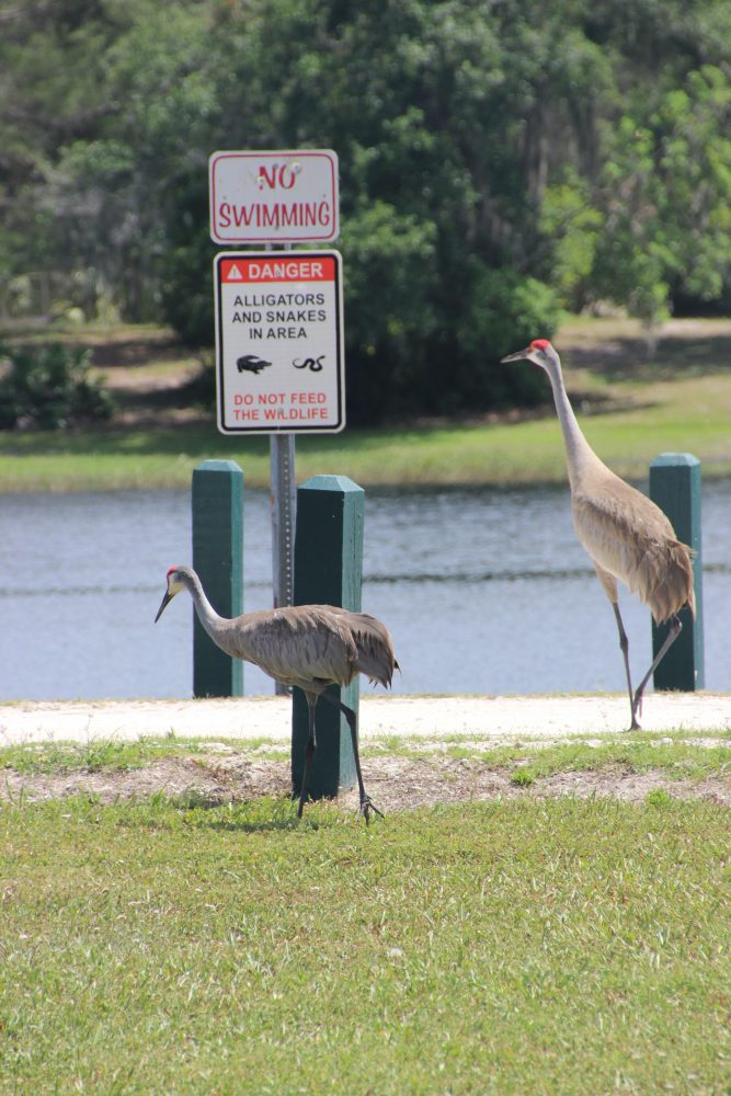 "Two sandhill crance next to ""Warning, Alligators"" sign"