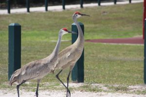 Sandhill cranes, who pay little attention to tourists with cameras.