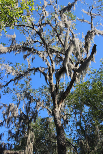 Live oak with Spanish moss.