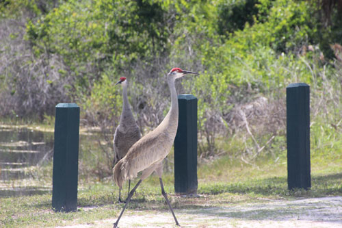 A pair of sandhill cranes.