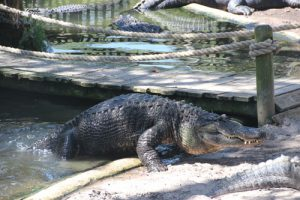 The Alligator Farm says it has specimens of all 21 crocodilian varieties.