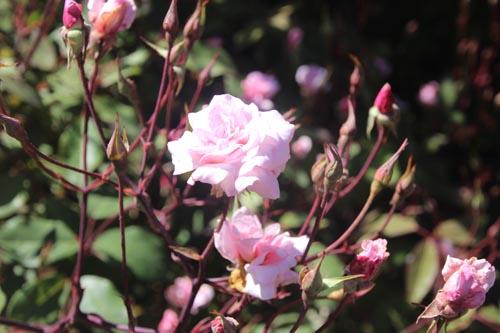 In the rose garden.