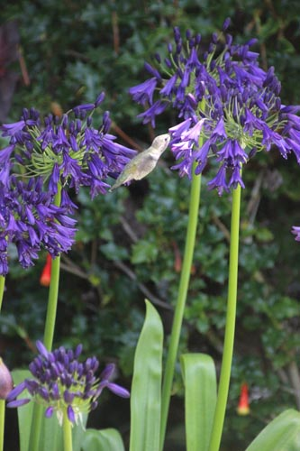 Hummingbird eating.