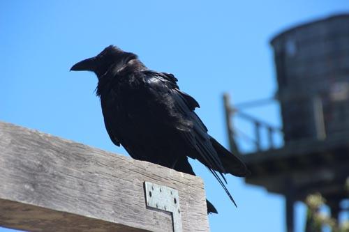 Yes, it's a raven.