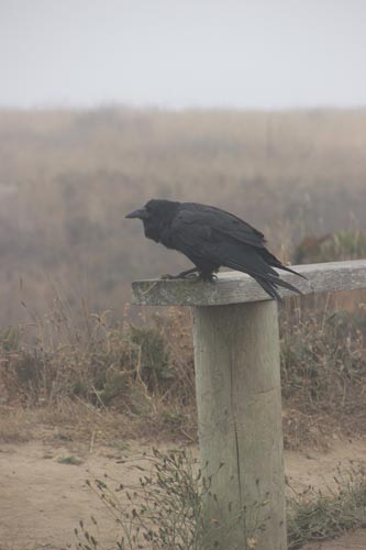 Raven in the mist.