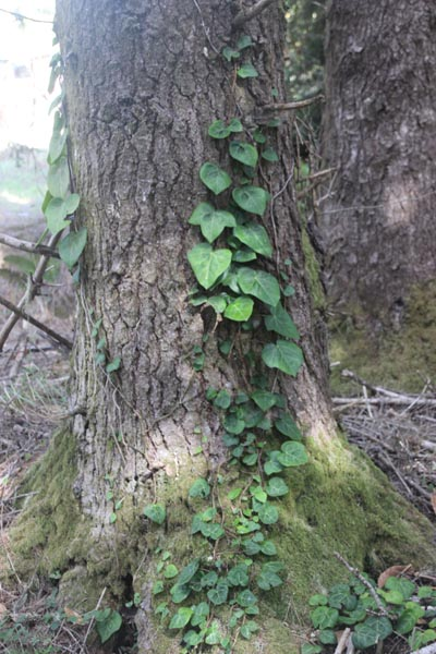 Ivy and Tree Trunk