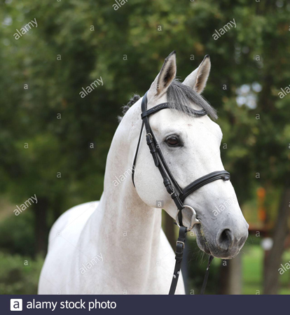 Gray horse with bridle facing camera
