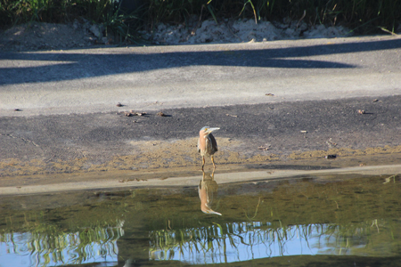 Green heron wading.