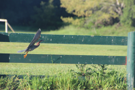 Green heron in flight.