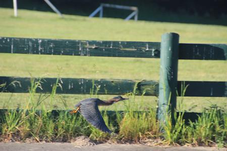 Green heron in flight, wings on downstroke