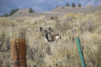Fencepost, sagebrush, two deer.