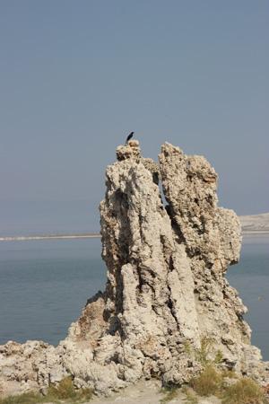 Blackbird on tufa tower.