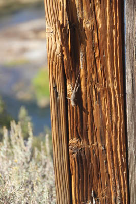 Wooden fencepost with lizard, head down.