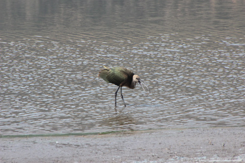 Ibis. White colored head, curved beak, shimmering greenish wings .Mark Speaker Yuan identified the bird.