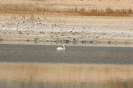 White pelican floats on lake, reflections of yellow and brown.